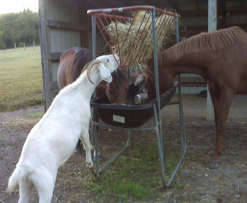 Toube Tee Goats 9-29-09