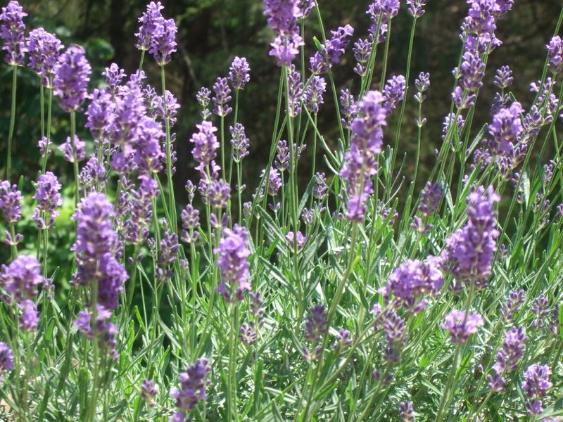Lavender 5-24-10
