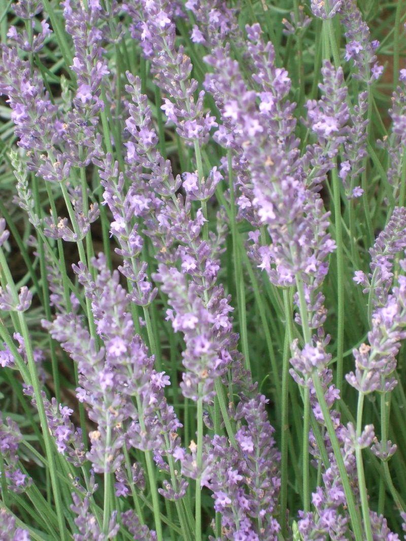 Lavender 6-13-10