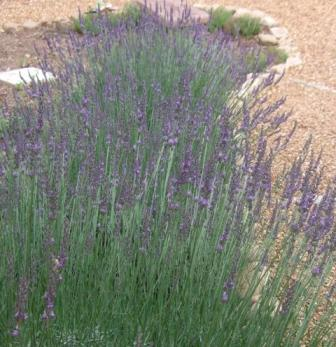 Lavender 6-10-09 (2)